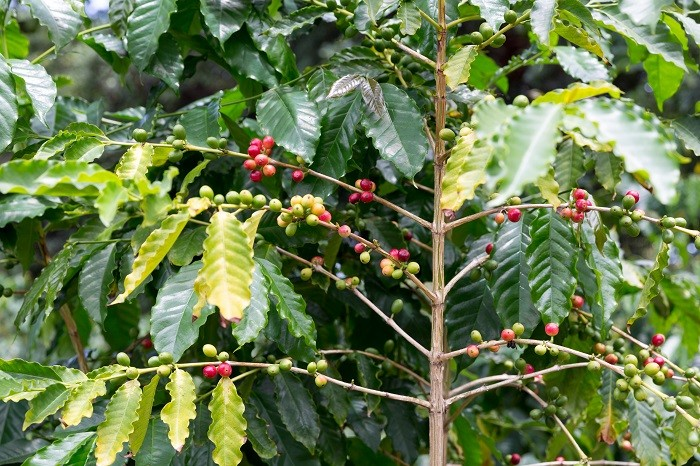 Why Best Kona Coffee Peaberry Beans Are Worth Your Attention!